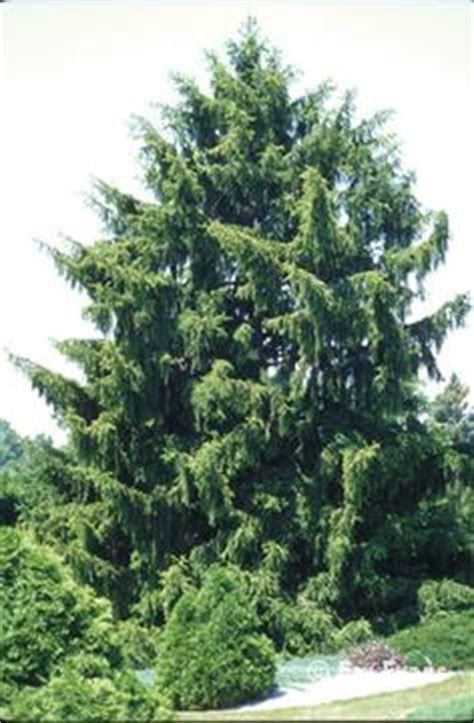 Norway spruce, picea abies, the norway spruce or european